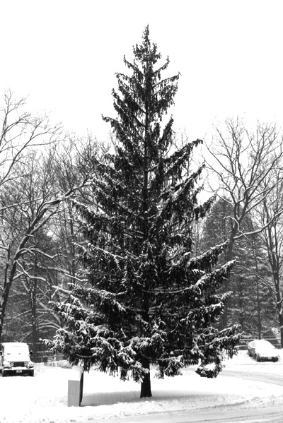 black and white of snowy tree
